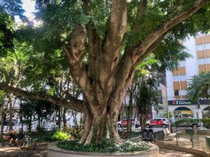 Imagem da figueira na Praça Vilaboim em Higienópolis
